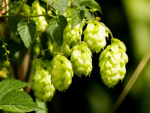 The little guys that lend flavor, aroma and bitterness to your beer: hops. Image courtesy newplantbeer.com.